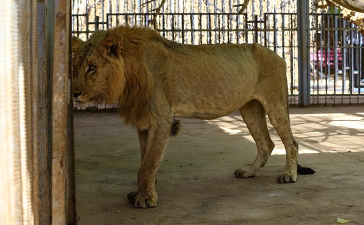 Malnourished Lions