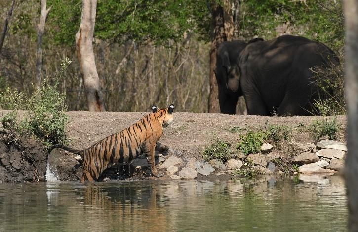 Panna Tiger Reserve, Panna Tiger Death, Panna Tiger Reserve Tigers, Mutilated Tiger, Tiger Death