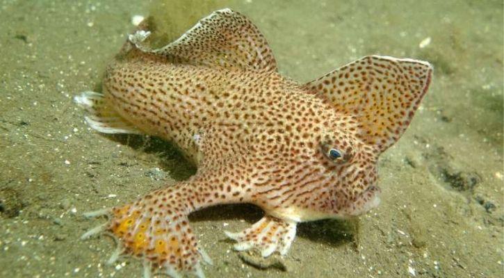 smooth handfish extinct in 2020
