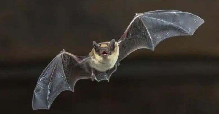 COVID-19 Bat  Origins