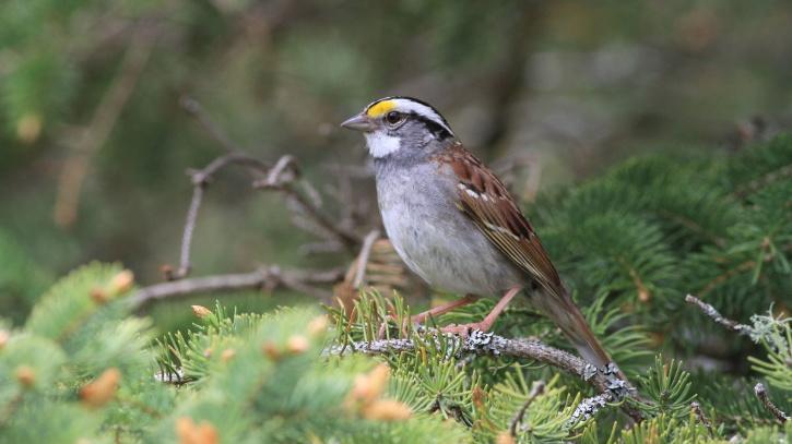 Canadian Sparrow