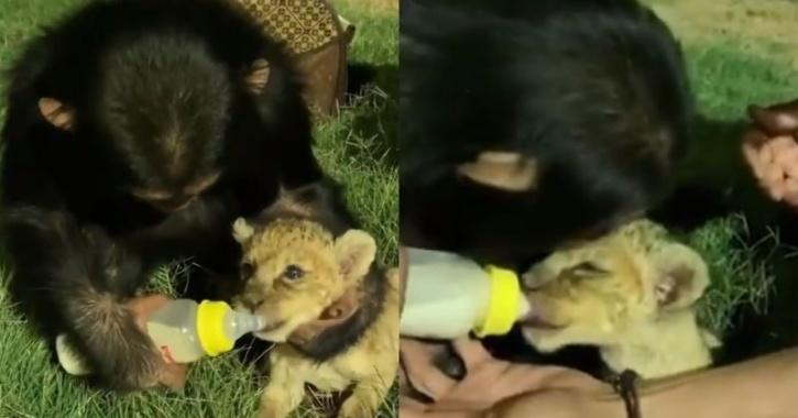Chimp feeding lion cub