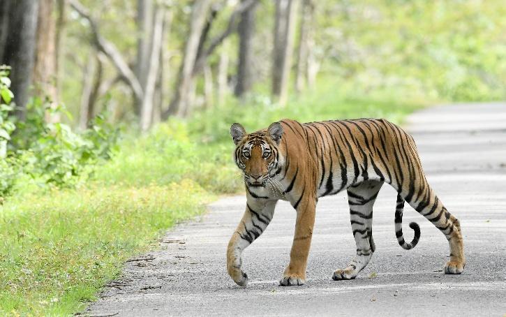 Maneater Tiger, Maneater Tiger Maharashtra, Maneater Tiger Avni, Maneater Tiger Shot Dead, Tiger Attack, Tigress Avni