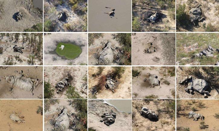 Aerial view of dead elephants in Botswana