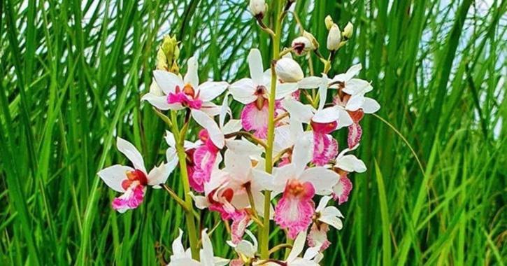 Eulopia Obtusa ground orchid