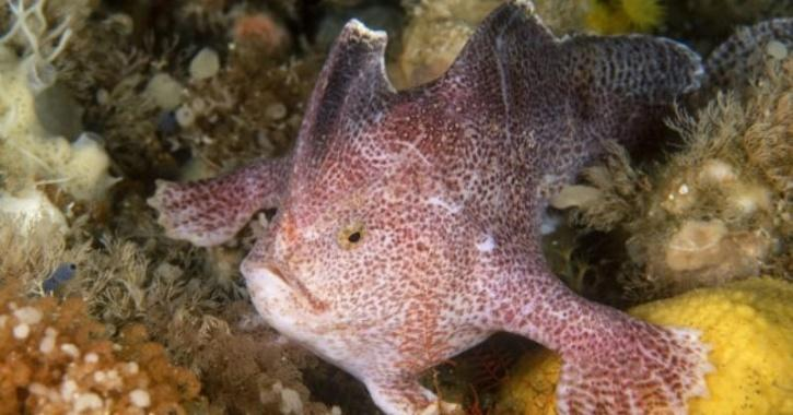 smooth handfish extinct due to fishing practices