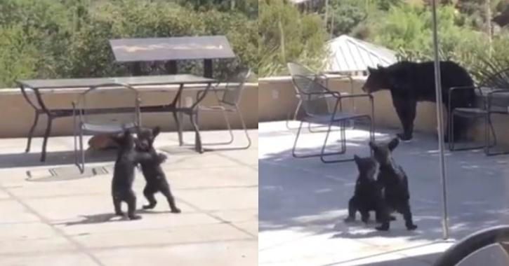 Fighting Bear cubs
