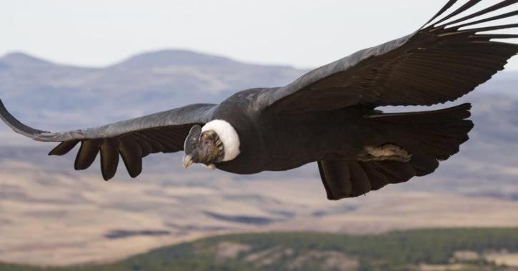 Andean condor bird