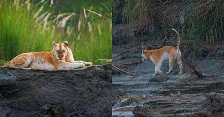 Golden Tiger Kaziranga