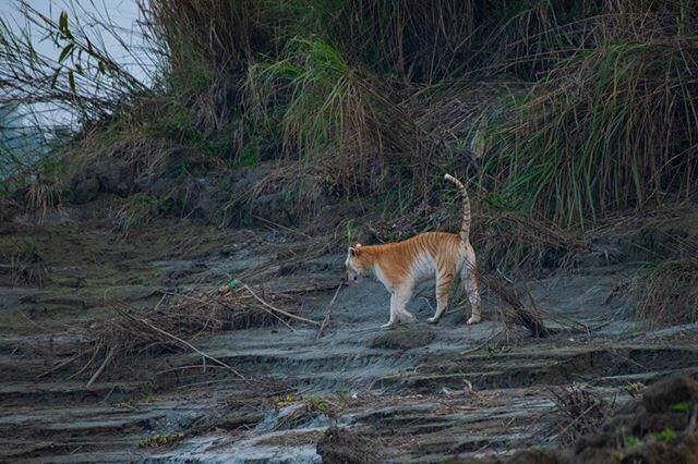 Golden Tiger In Kaziranga National Park