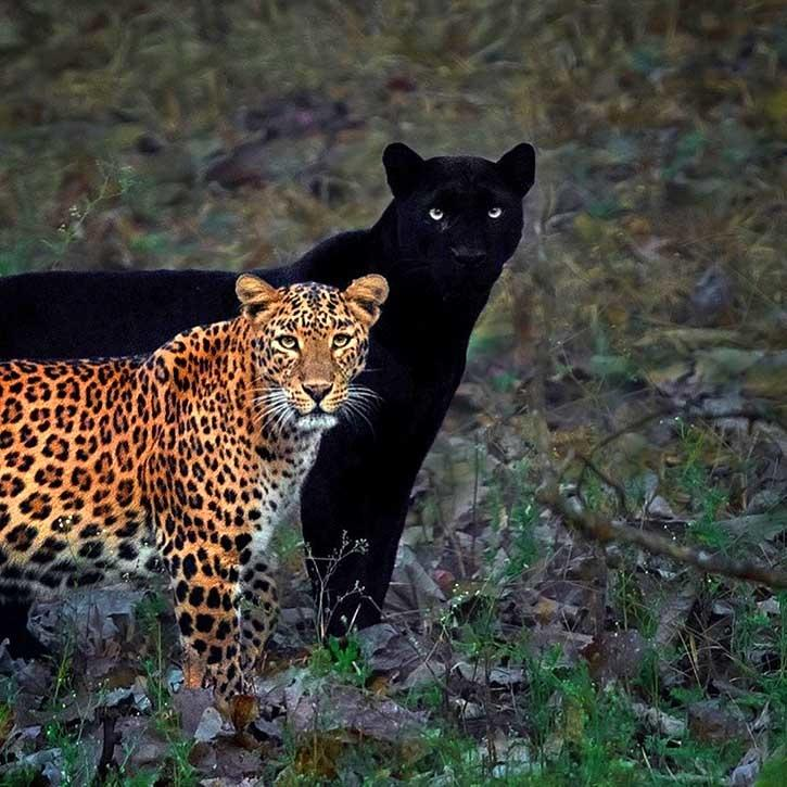 Leopard & Panther