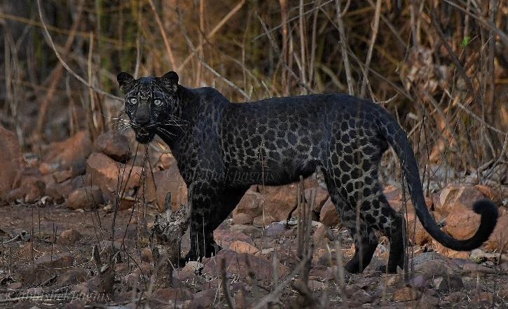 Black Melanistic Leopard