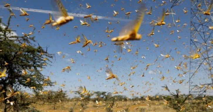 Locust menace