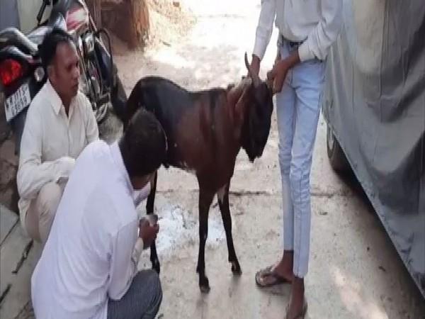 male goat