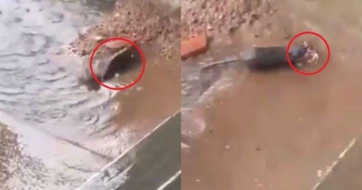 mother rescuing rat babies