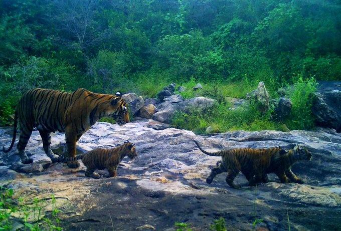 Sariska tigers