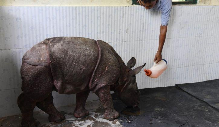 Assam Flood Rescued Rhino