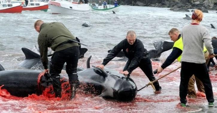 Whaling Faroe Island