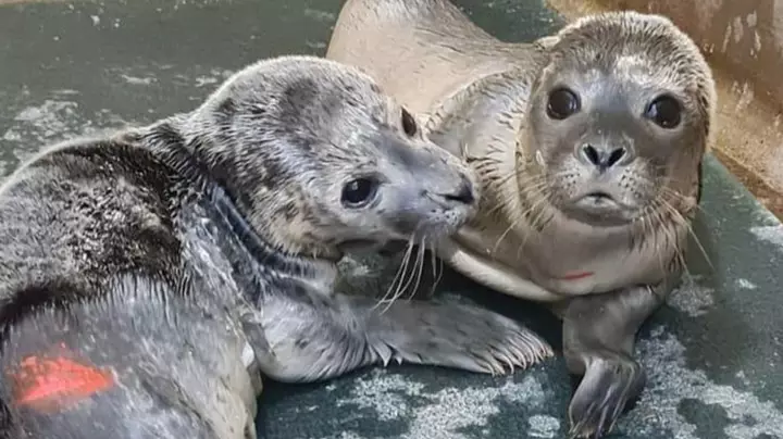 baby seal separated from mother