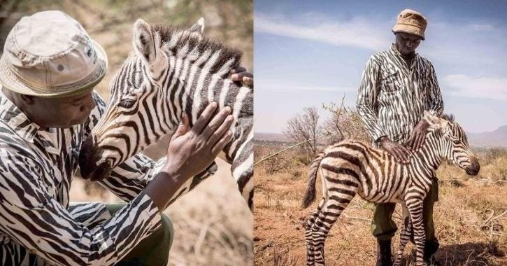 Baby zebra with 'surrogate mother'