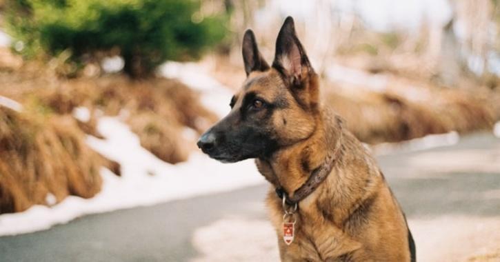 buddy the dog who tested postive for german shephard