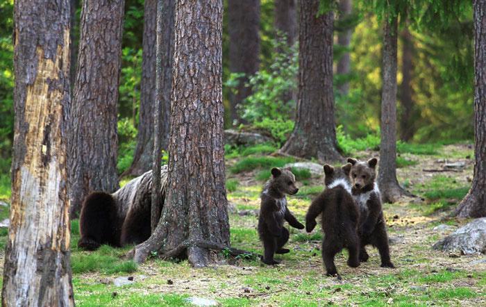 Dacing baby bears