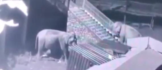 Elephant climbs temple steps near Corbett