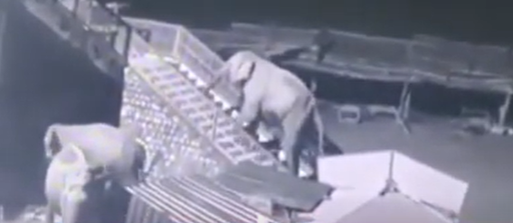 Elephant climbing temple steps