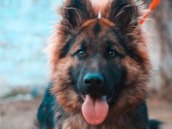 german shephard dog buddy who tested positive for coronavirus
