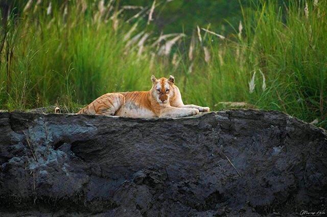 Golden Tiger in Kaziranga