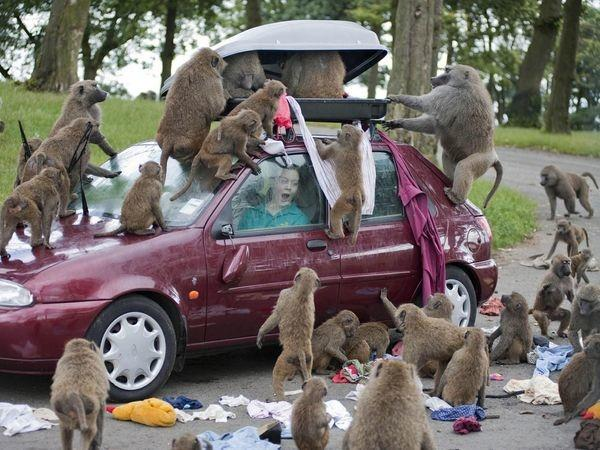knowsley baboons