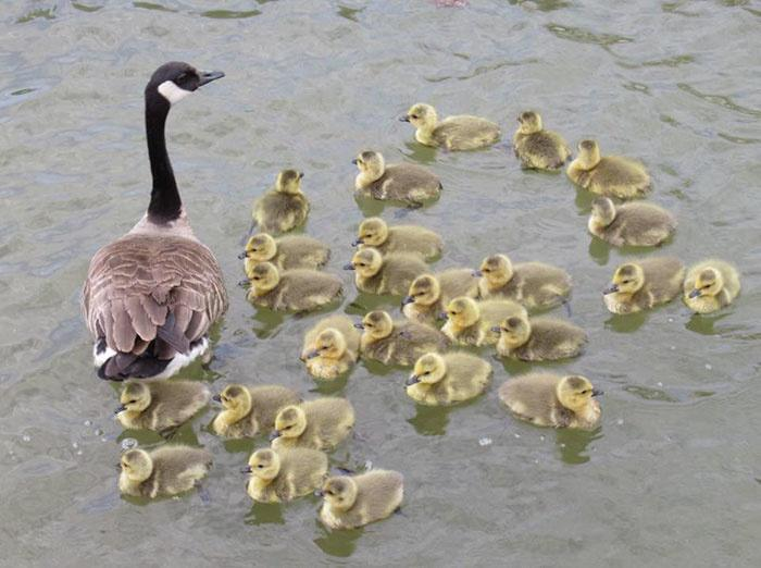 Mother goose take care of goslings