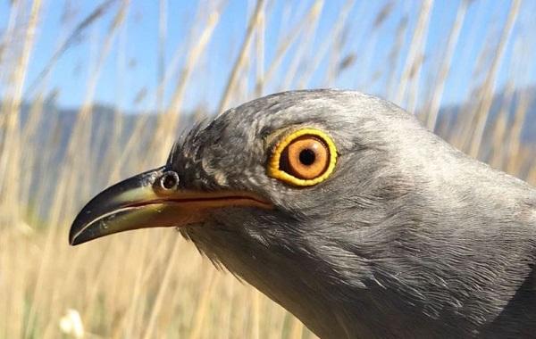 Onon migratory bird