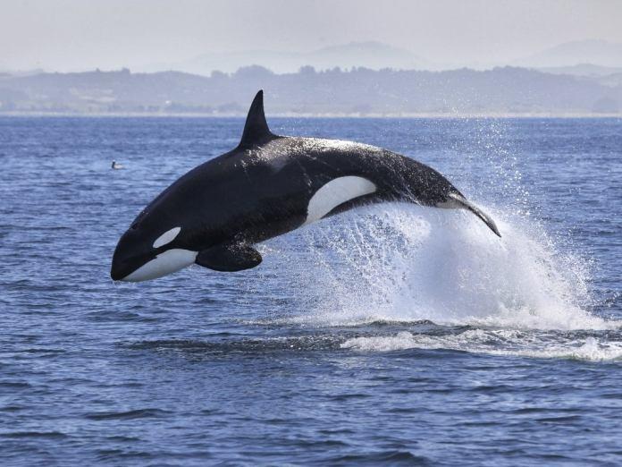 Orca in the ocean