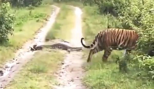 python and tiger
