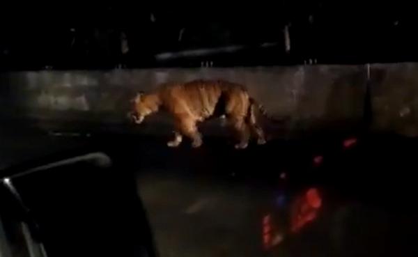 tiger climbing barrier
