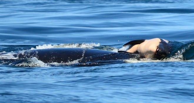 Killer whale carrying her dead baby