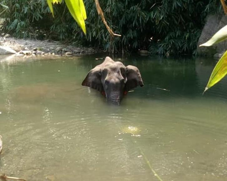 Pregnant Bison, Pregnant Bison Killed, Kerala Elephant, India Bison, India Bison Endangered, India Gaur