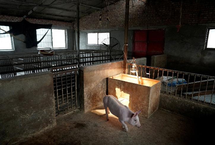 Swine Flu, Swine Flu Assam, Lumpy Skin Disease,  Lumpy Skin Disease Assam,  Lumpy Skin Disease Vaccine, Farmers In Assam