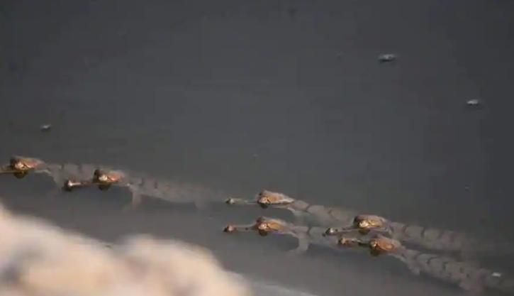 gharials yamuna river