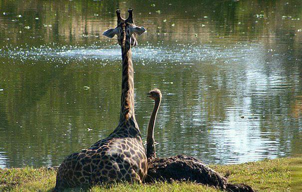 Giraffe and ostrich being friends