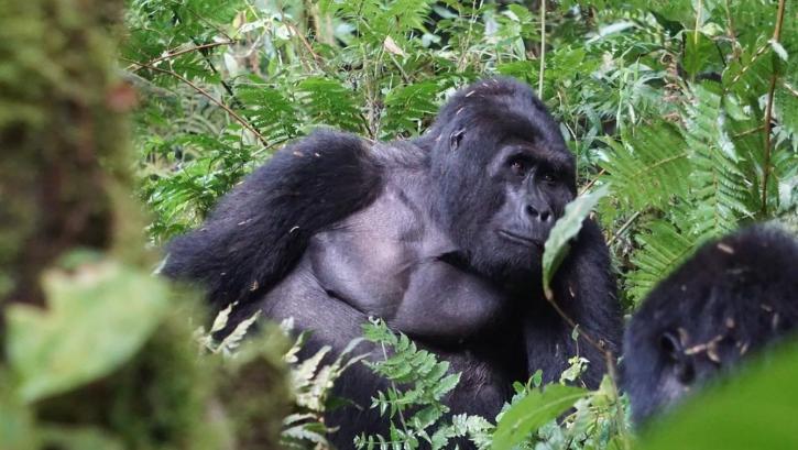 silverback gorilla Rafiki