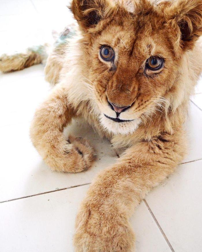 Simba after rescue