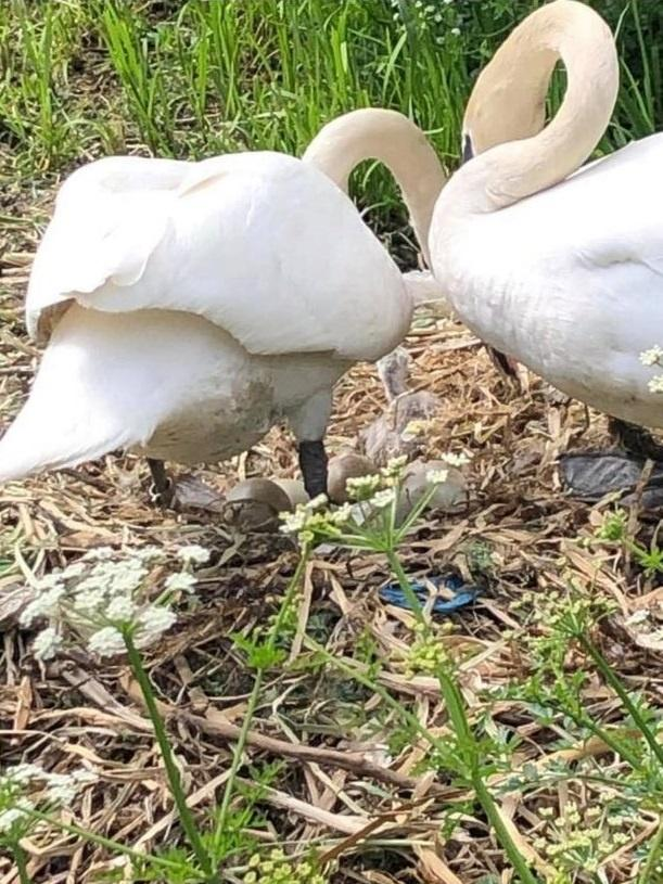 Swan couple together