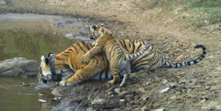 Sariska Tiger Reserve Tigress