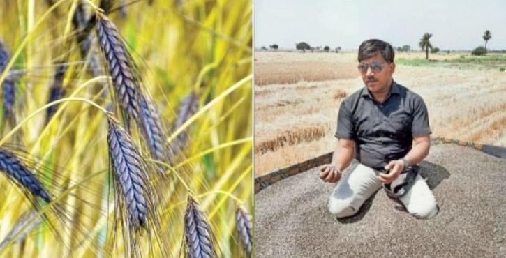 Vinod Chauhan grows black wheat