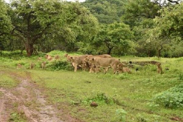 Asiatic Lions In Gujarat