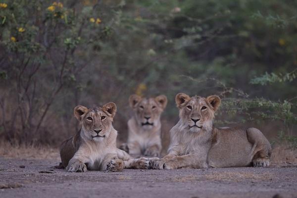 Asiatic Lions In Gir