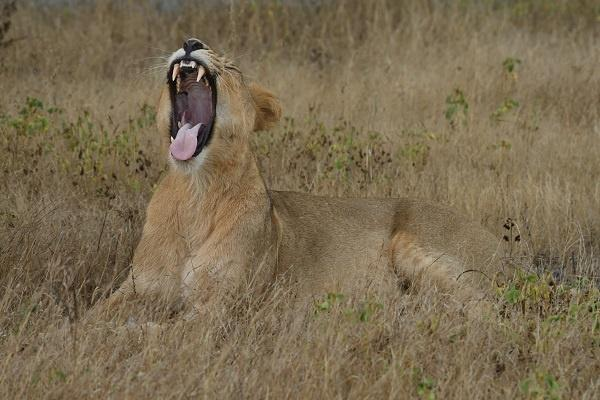 Asiatic Lion population