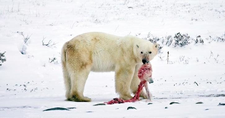 Polar Bears Are Eating Their Children